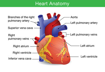 Human heart anatomy vector isolated on white background. This illustration about medical and health care.