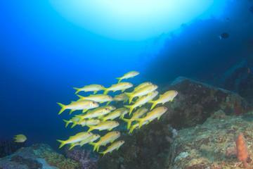 Coral reef with fish school (Yellowfin Goatfish) in ocean