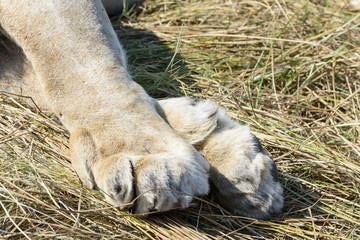 A pair of lion paw