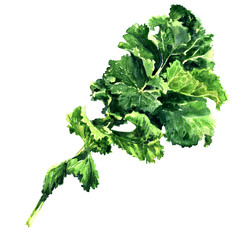 Bunch of fresh green kale leaf vegetable isolated, watercolor illustration