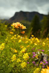 Flowers on the mountain meadow
