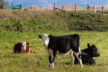 three crossbreed calves in paddock