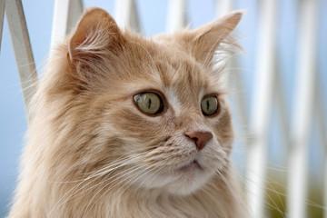 可愛い猫 メインクーン。 動物 ポートレイト。 Cute Maine Coon cat. Animal portrait.  SONY DSC