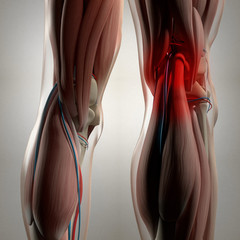 Human anatomy. Back of legs, calf muscles, knees, pain. 3d illustration.