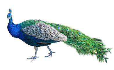 the Beautiful Peacock