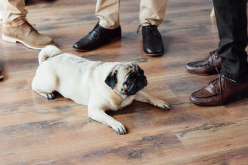 Pug on a wooden floor looking at the camera .