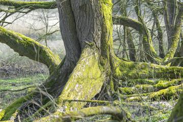 Wurzelstock mit Brettwurzeln einer Flatterulme (Ulmus laevis), Hartholz-Auwald an der Elbe nahe Hitzacker, Biosphärenreservat Elbetal, Niedersachsen, Deutschland