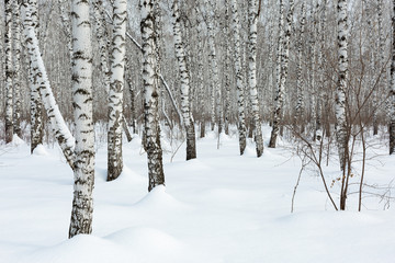 Siberia. Trunks of birch trees and snow in the winter forest.