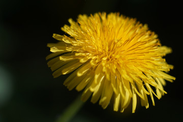 Petals of dandelion, dandelion