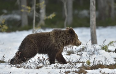 Running Cub of  Brown Bear (Ursus arctos) on a swamp in the spring forest.