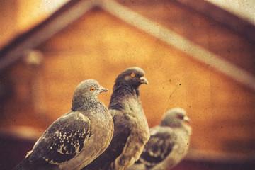 Curious Urban Pigeons Retro