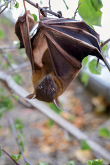 The Lesser short-nosed fruit bat (Cynopterus brachyotis). In the