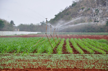 corn irrigation with small sprinklers