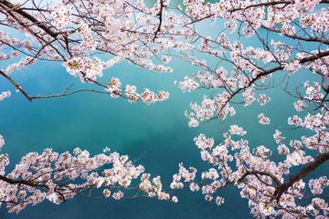 spring sakura pink flower and water background