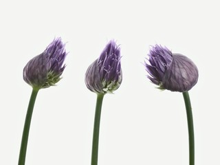Three chive flowers against white background