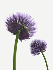 Two chive flowers against white background