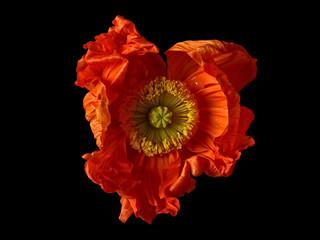 Poppy flower against black background