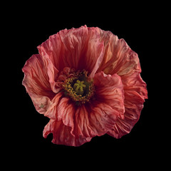 Poppy flower against black background