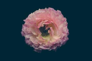 Ranunculus flower against plain background
