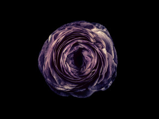 Ranunculus flower against black background