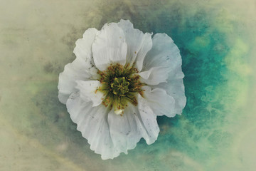 White poppy, overhead view