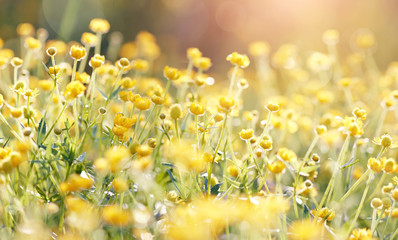 Background with yellow flowers of a buttercup