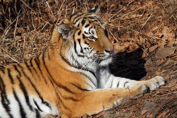 тигр Амур