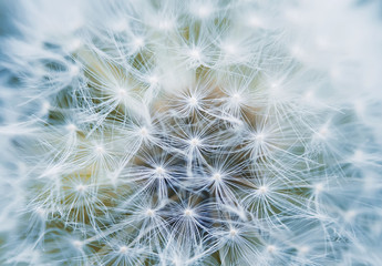Photo sur Toile Pissenlit fluffy and airy inflorescence of a dandelion closeup
