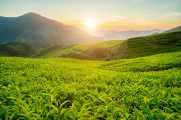 Tea plantation in Cameron highlands, Malaysia Wall mural