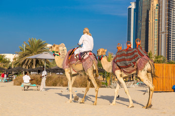 Camel in Dubai Marina