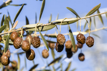 Detail of dry olive branch, the lack of irrigation and heat prod