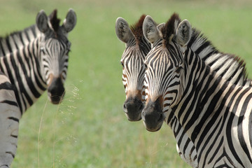 Zebra with two heads or optical illusion? looking at camera
