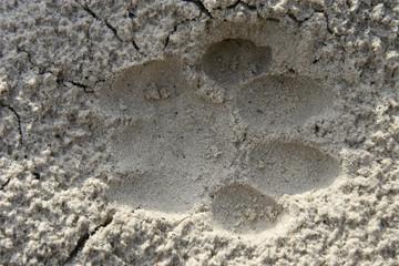 Lion spoor in sand, Botswana