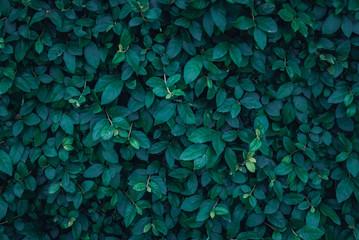 Dark Green leaf background