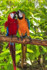 pair of macaws kissing