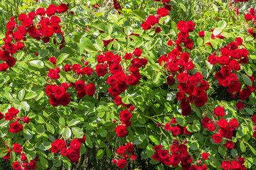 Natural red rosebush background.