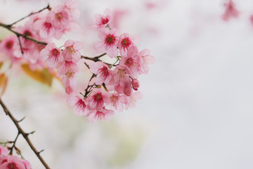 Close up cherry blossom with beautiful nature with blurred background