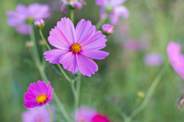 Close up pink cosmos flowers with blurred background