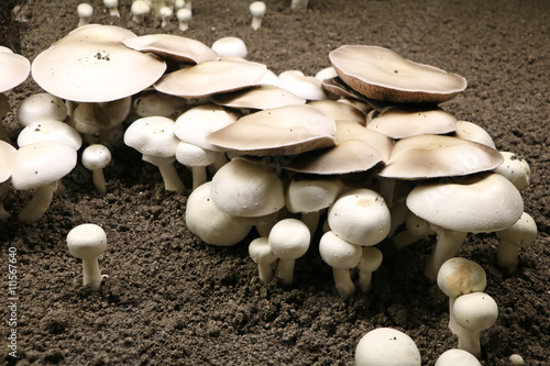 culture du champignon de paris champignonni re photo. Black Bedroom Furniture Sets. Home Design Ideas