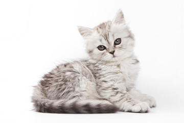 Fluffy gray kitten British cat (isolated on white)