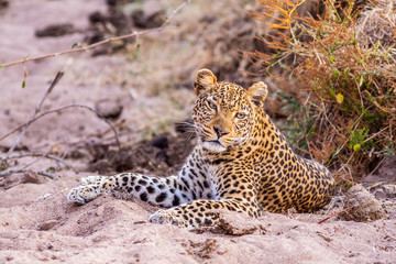 Wall Mural - Wild African Leopard resting
