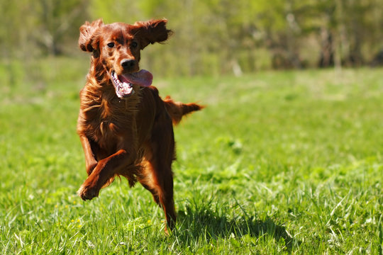 lucky dog Irish setter playing