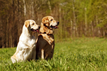 two dogs Golden retrievers