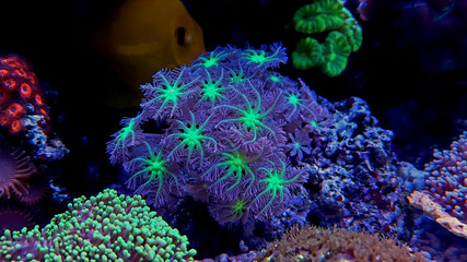 Clavularia Glove polyp coral