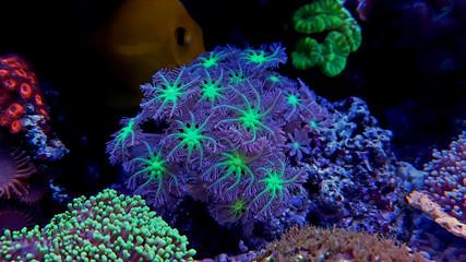 Aluminium Prints Under water Clavularia Glove polyp coral