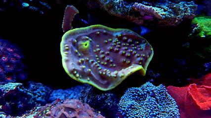 Turbinaria LPS coral