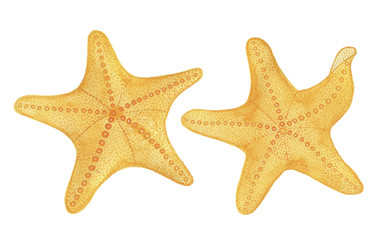 Watercolor starfish set isolated on white background