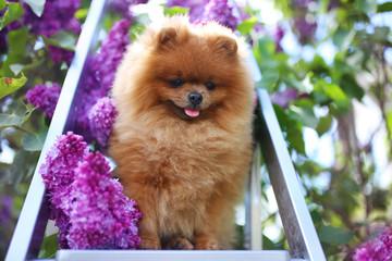 Pomeranian dog in lilac bushes. Lilac. Beautiful dog. Fluffy dog
