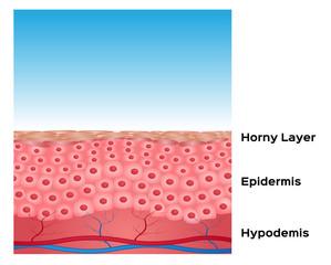 skin background vector , skin anatomy