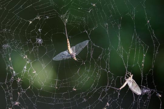 Dead Mayflies (Ephemera vulgata) in spiders web